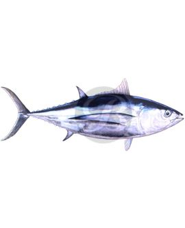 Albacore Tuna Decal