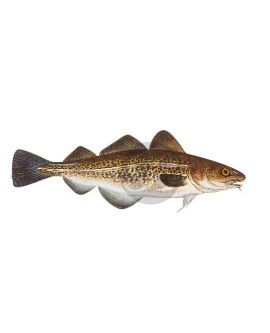 Atlantic Cod Decal