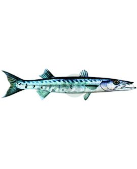 Barracuda Decal