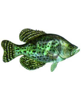Black Crappie (Small) Decal