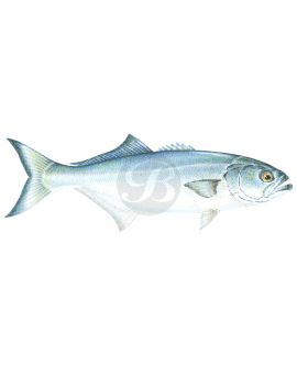 Bluefish Decal