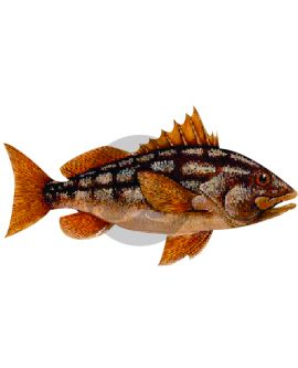 Calico Bass (Kelp Bass) Decal