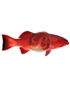 Coral Trout Decal